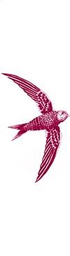 swalow-4